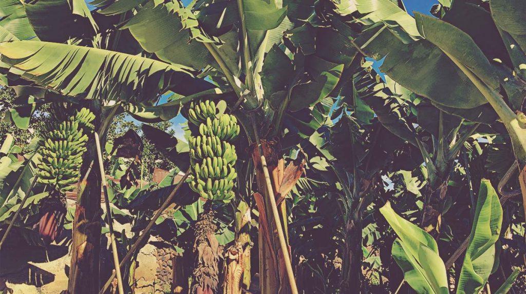 Plátanos en La Gomera
