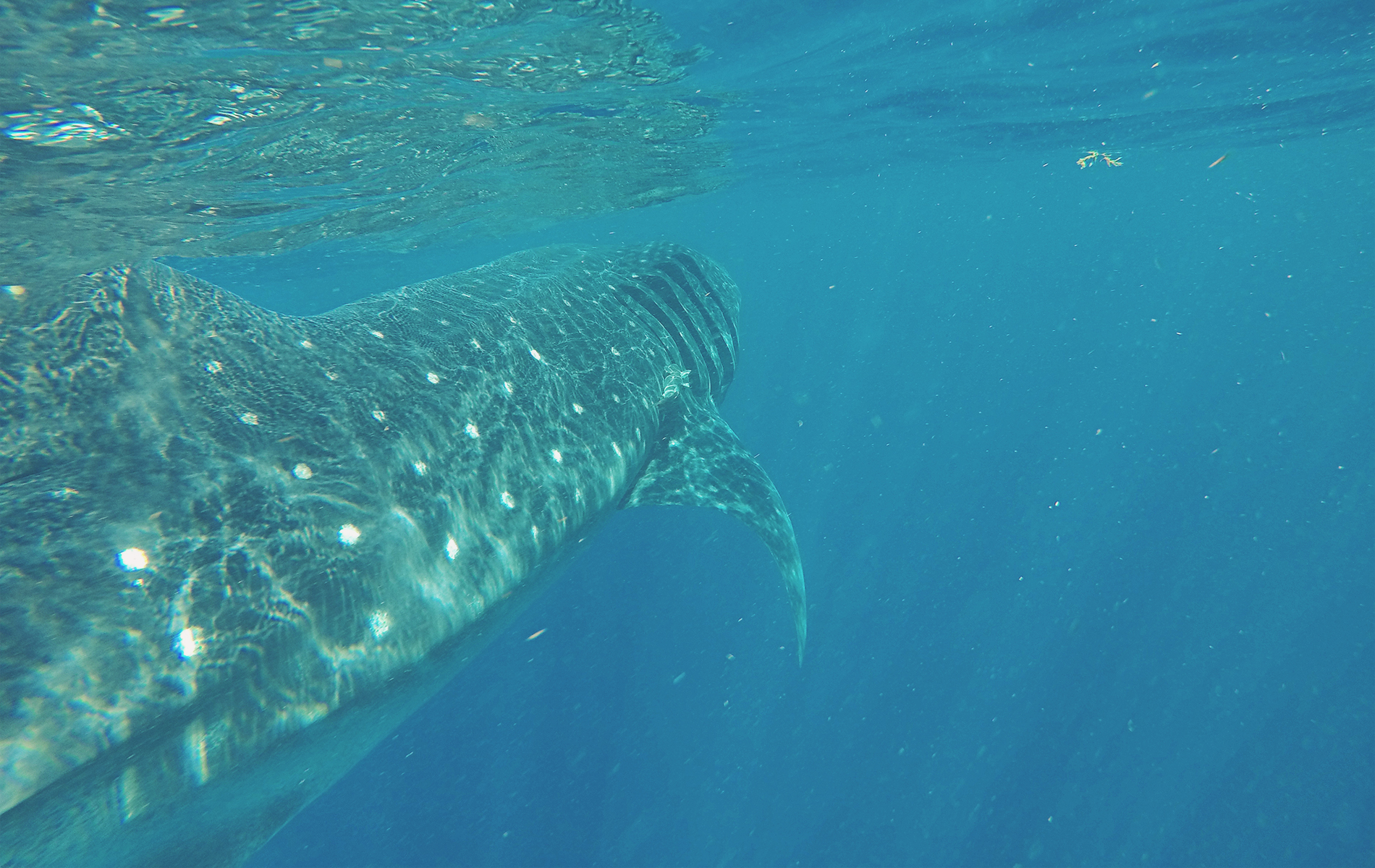 Caribe Mexicano. Nadar con el tiburón ballena