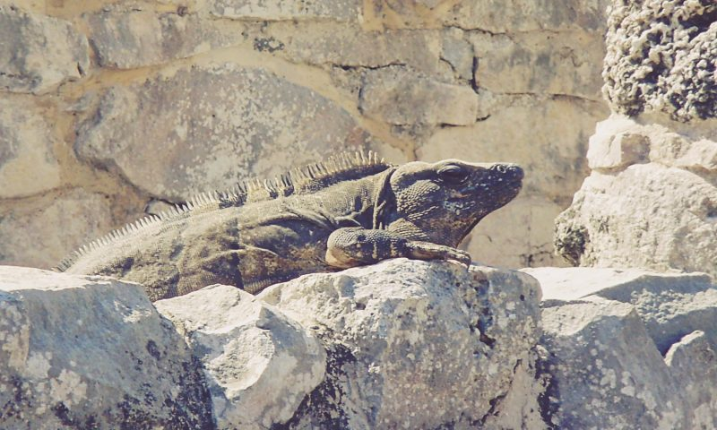 Iguana en Tulum. Riviera Maya