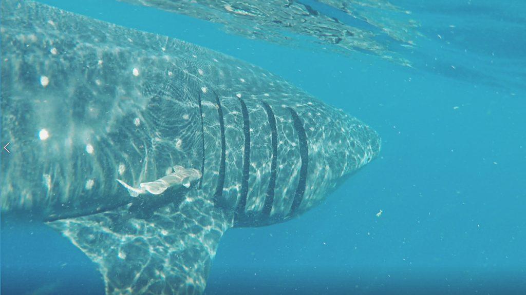 Las rémoras aprovechan animales mayores como el tiburón ballena para gastar menos energía en los desplazamientos.