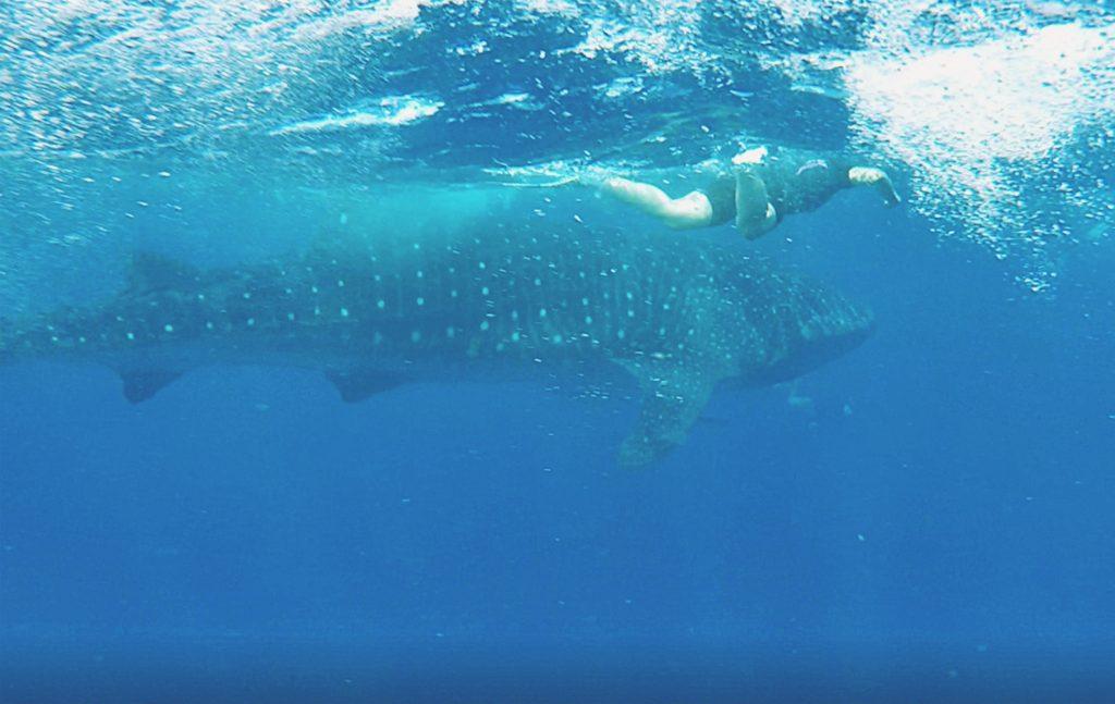El tiburón ballena mide entre 8 y 12 metros de longitud.