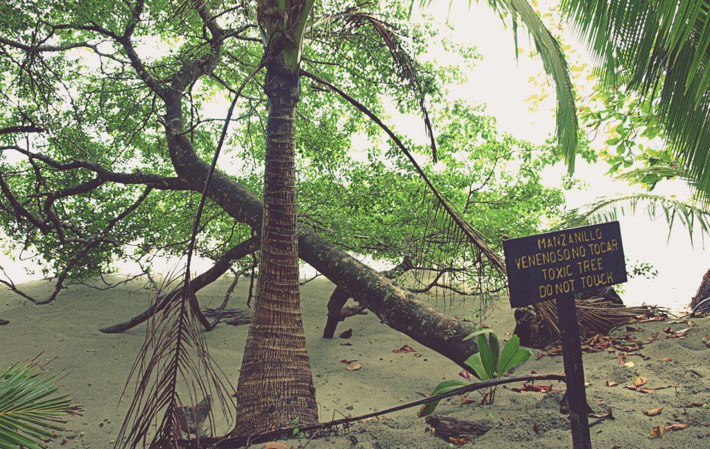 El manzanillo es un árbol tóxico. Parque Nacional Manuel Antonio. Costa Rica