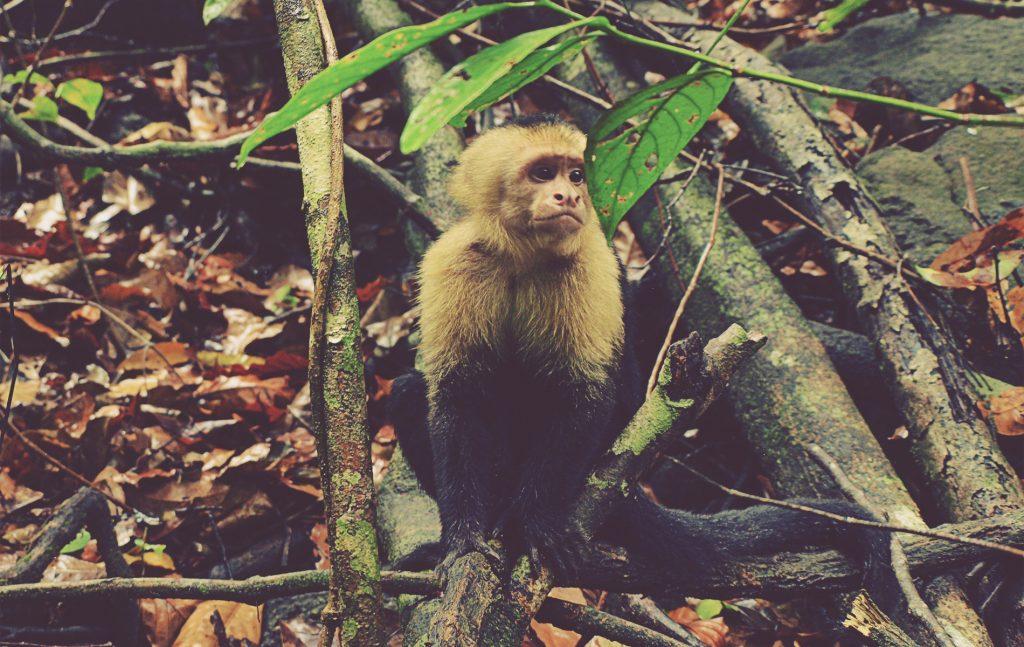 Mono cara blanca. Parque Nacional Manuel Antonio. Costa Rica