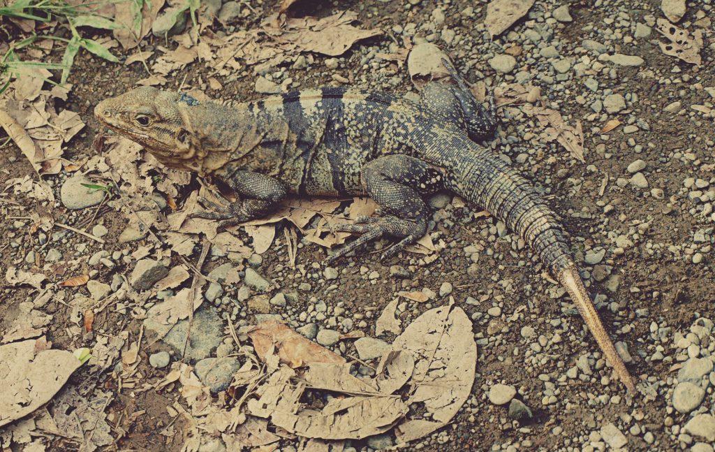 Iguana. Parque Nacional Manuel Antonio. Costa Rica
