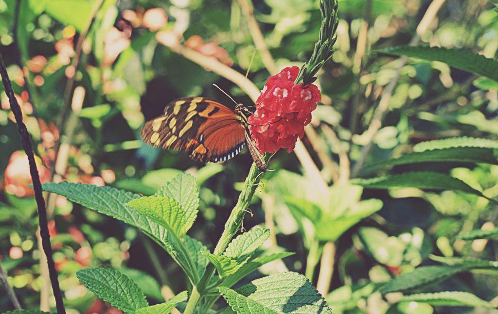Mariposa en el entorno del Parque Nacional Manuel Antonio. Costa Rica