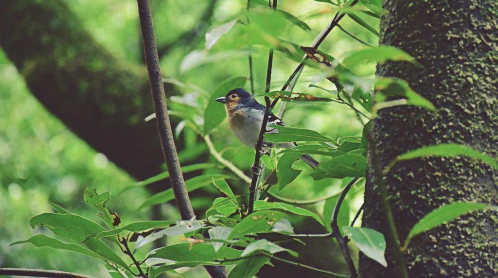 Fauna-laurisilva-La-Palma